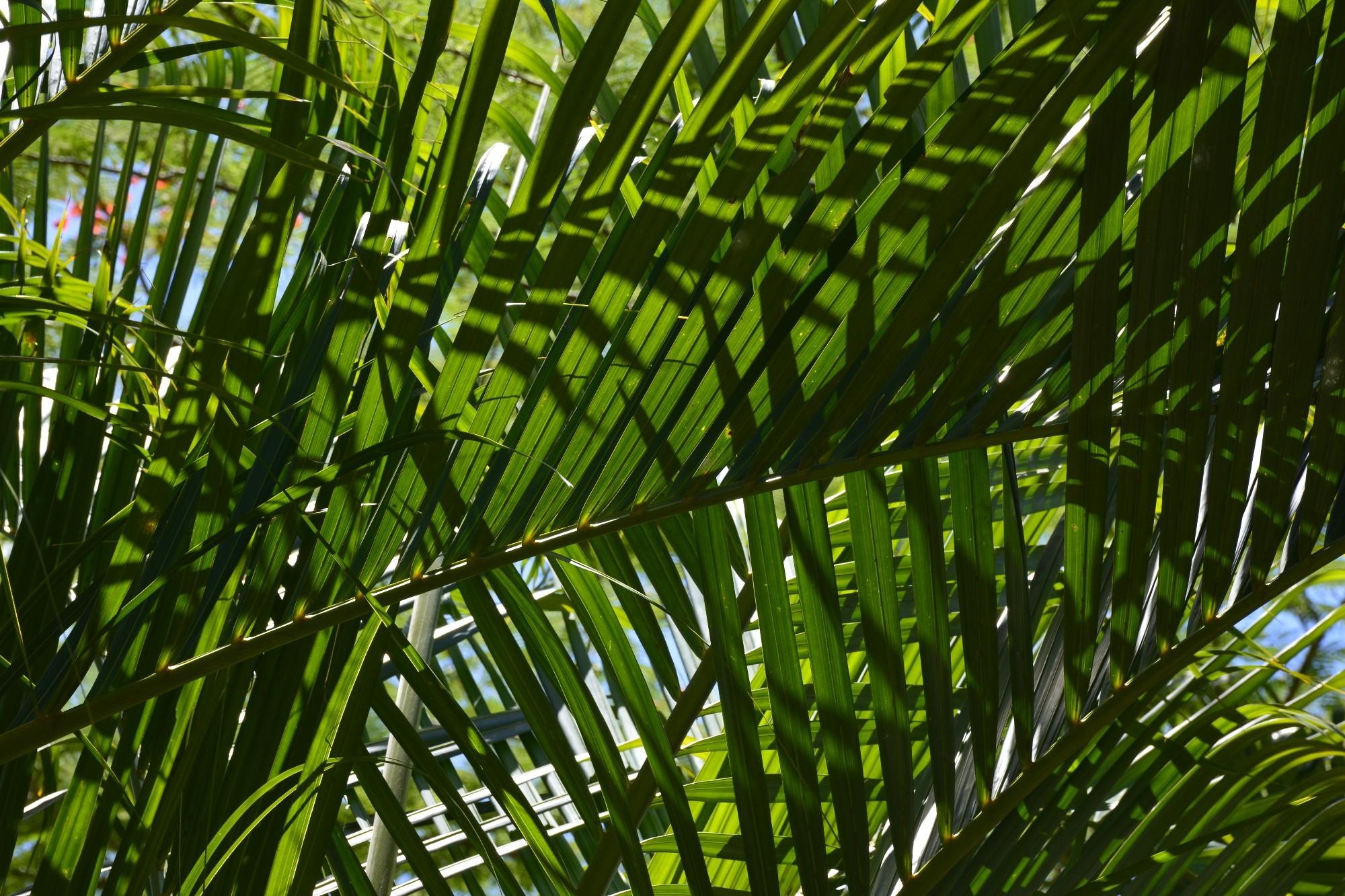 palmiers-verdoyants-sous-les-tropiques-details