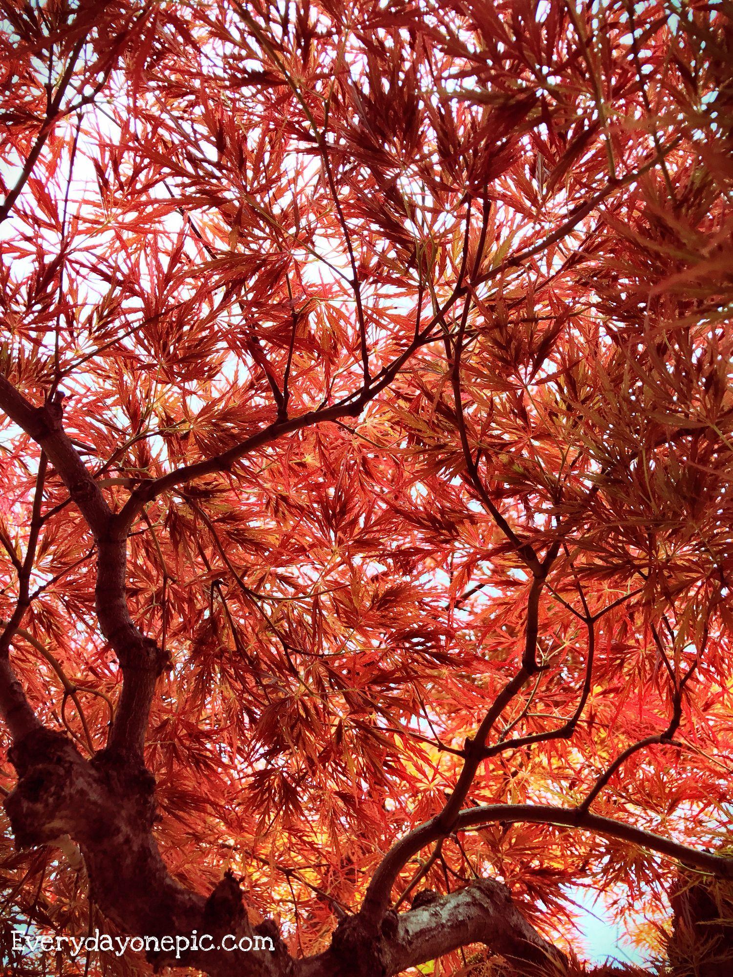 arbre-japonais-photographie
