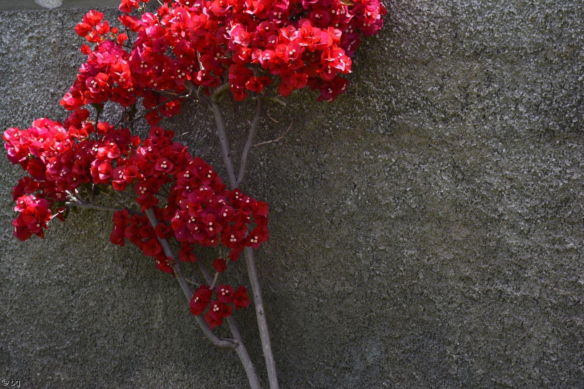 mur-fleuri