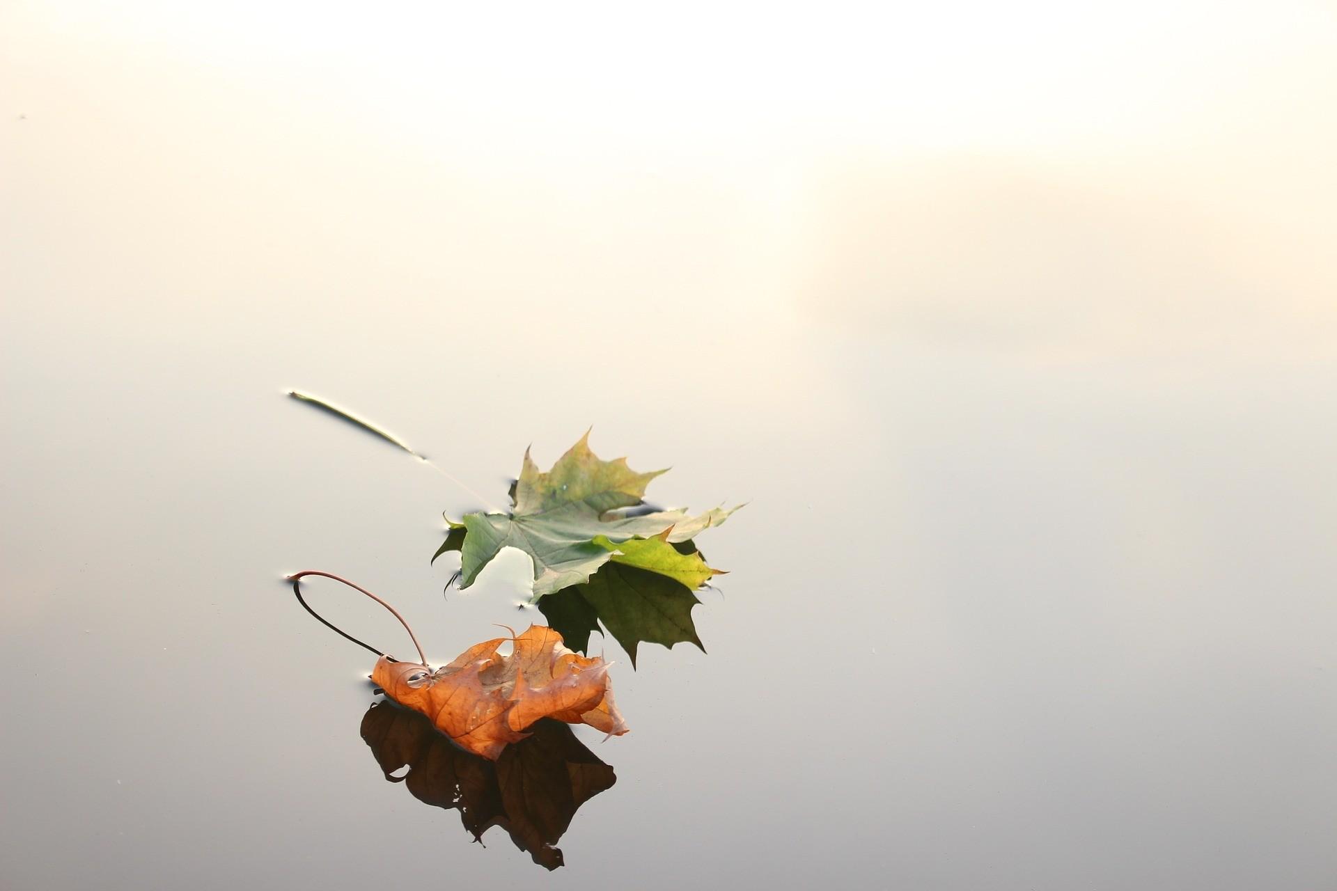 feuilles-erable-sur-eau