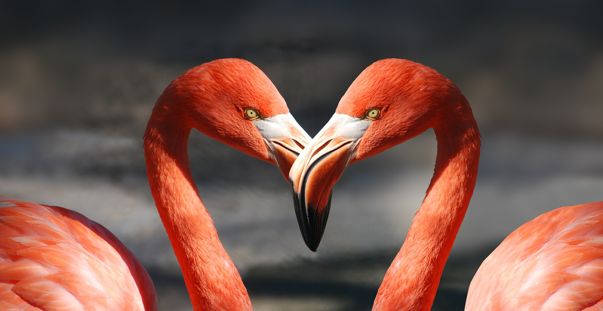 flamands-roses-en-couple-coeur