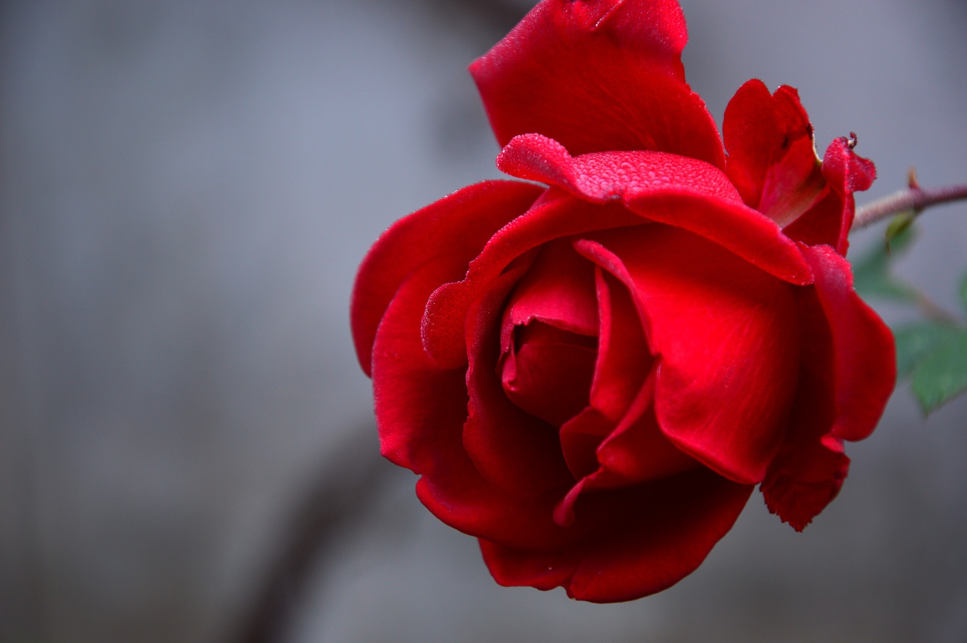 rose-rouge-symbole-amour