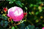 floraison-de-la-rose