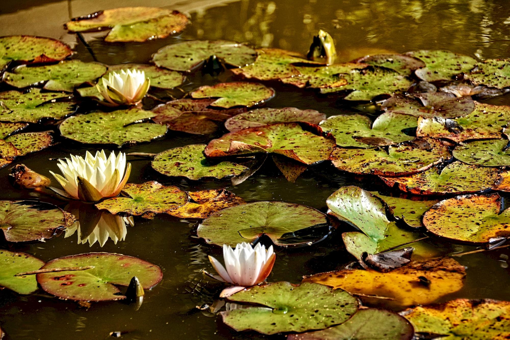 nenuphars-aux-couleurs-d-automne
