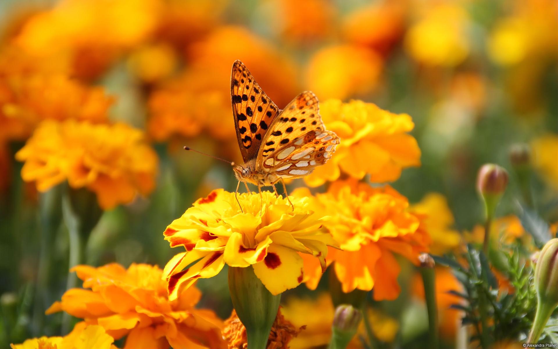 PAPILLON-fonds-ecran-fleurs-HD-gratuits-de-qualite