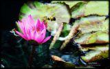 nenuphars-fonds-ecran-fleurs-HD-gratuits-de-qualite