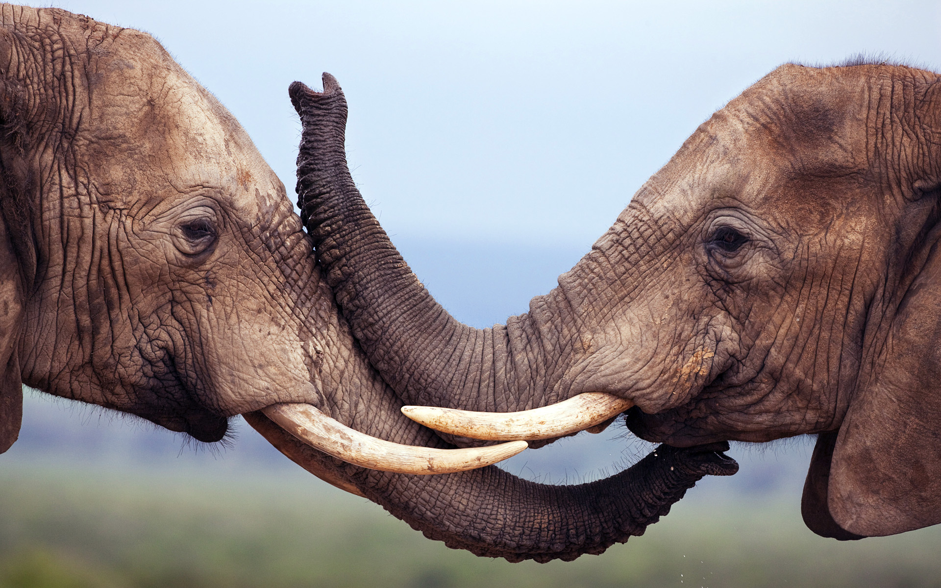 couple-elephant