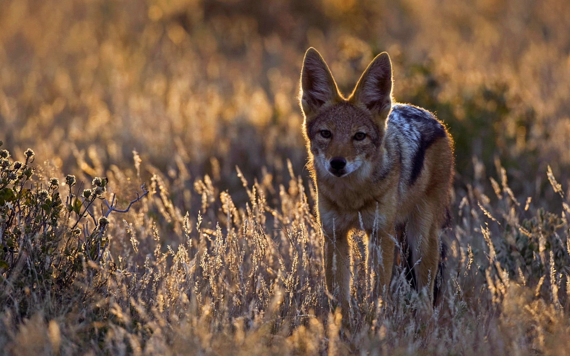 coyote-animaux-afrique