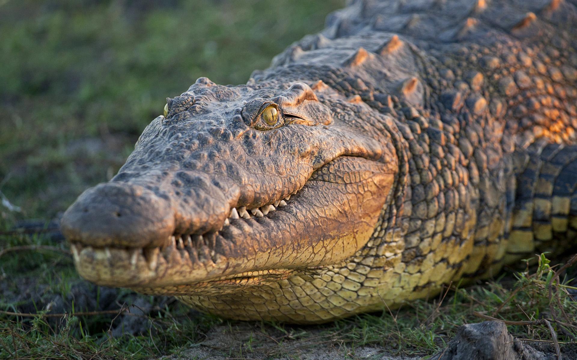 crocodile-animaux-afrique