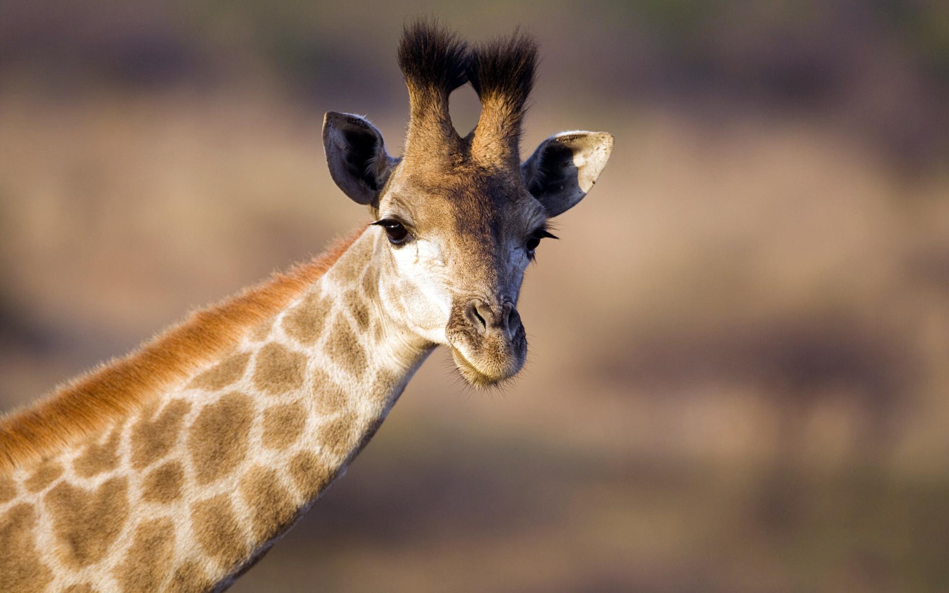 girafe-animaux-afrique