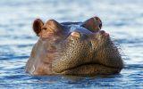 hippopotame-animaux-afrique