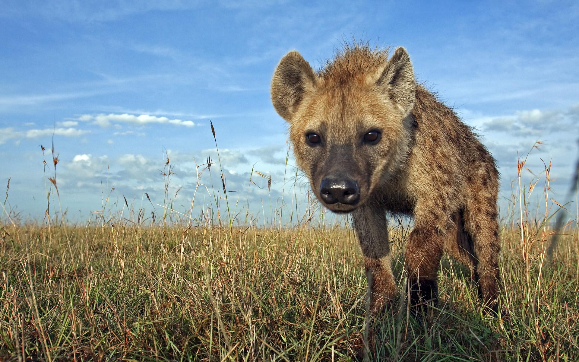 hyene-animaux-afrique
