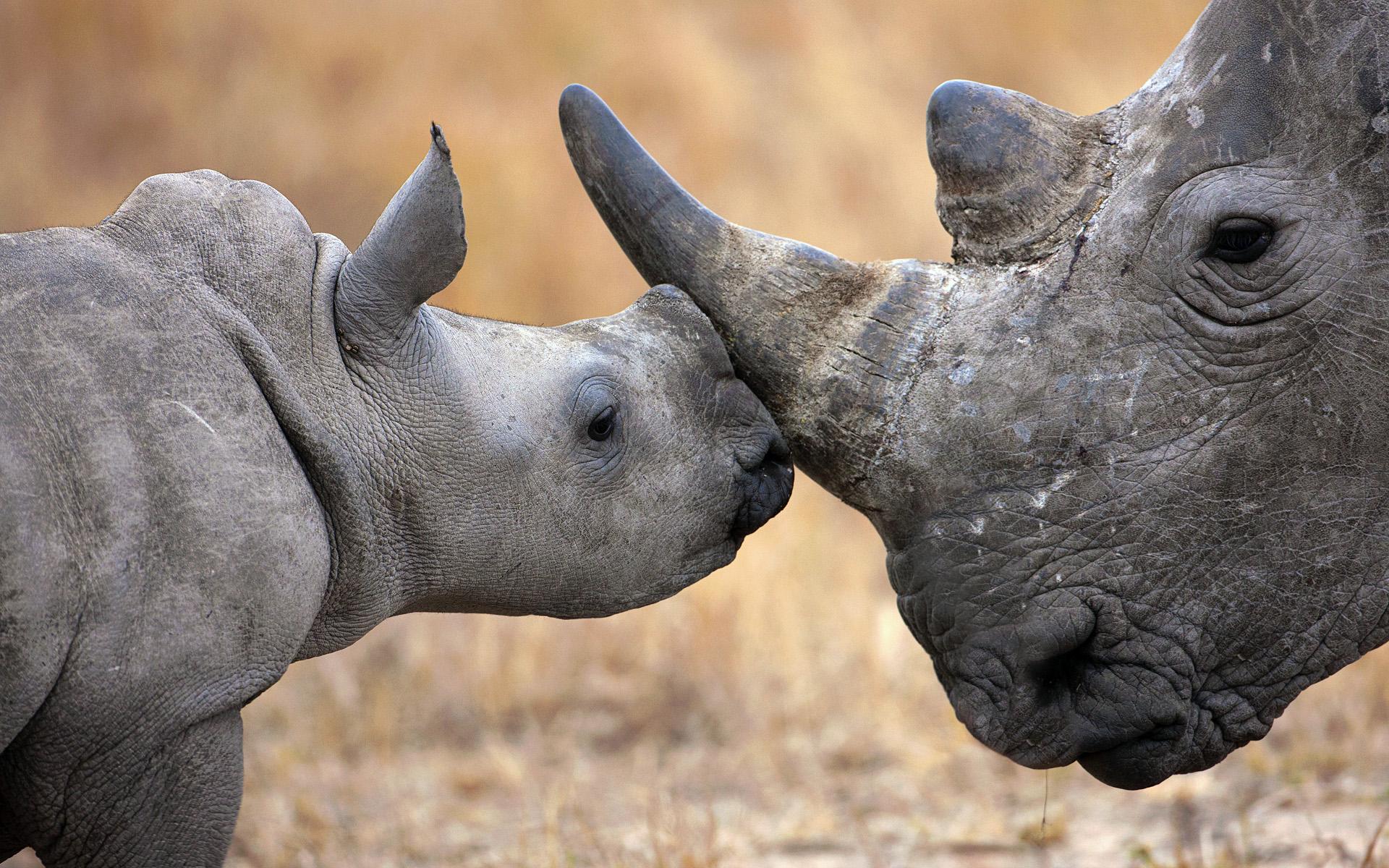 rhinoceros-animaux-afrique