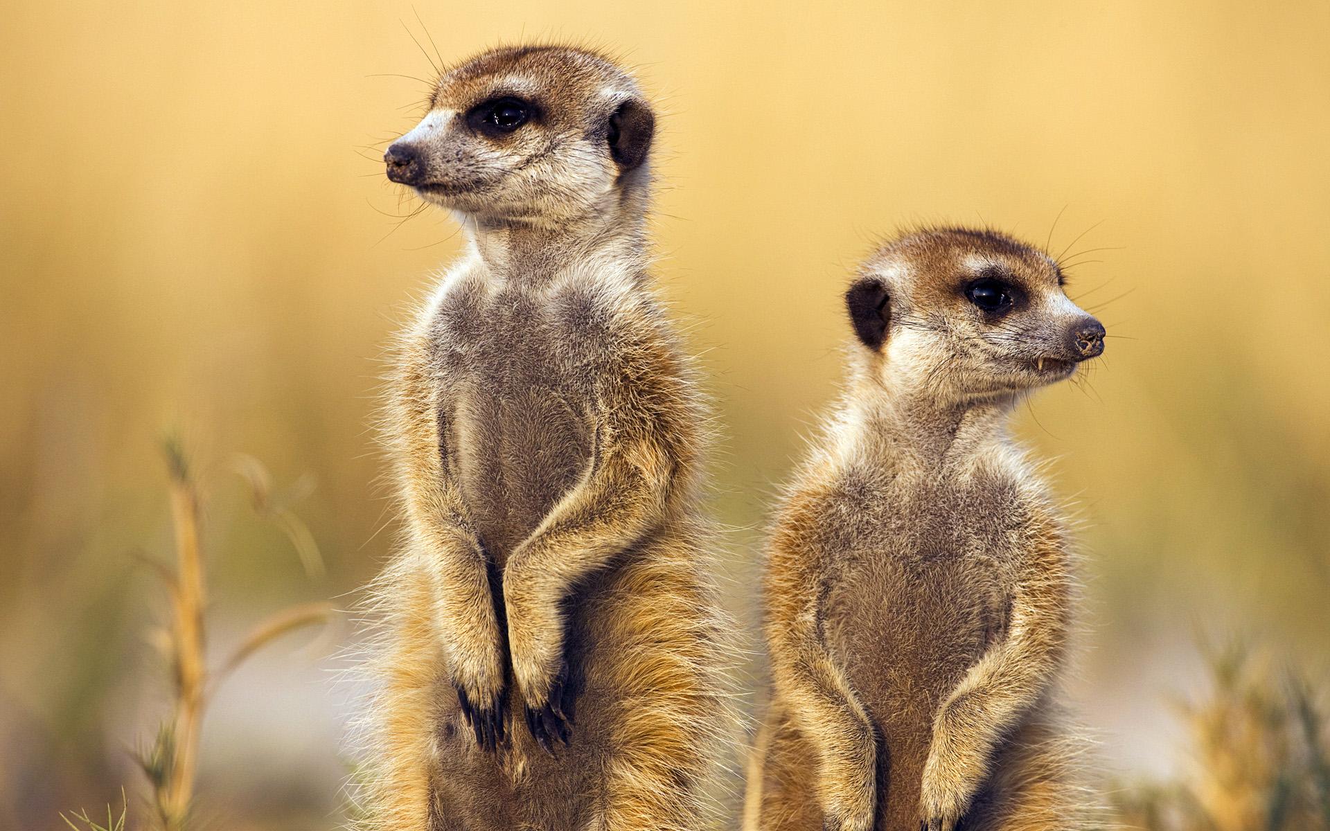 suricates-animaux-afrique