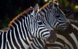 zebre-animaux-afrique