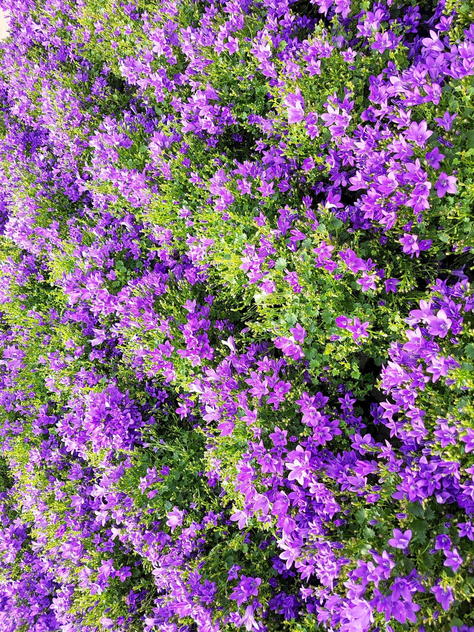 fleurs-de-printemps-violettes-telecharger