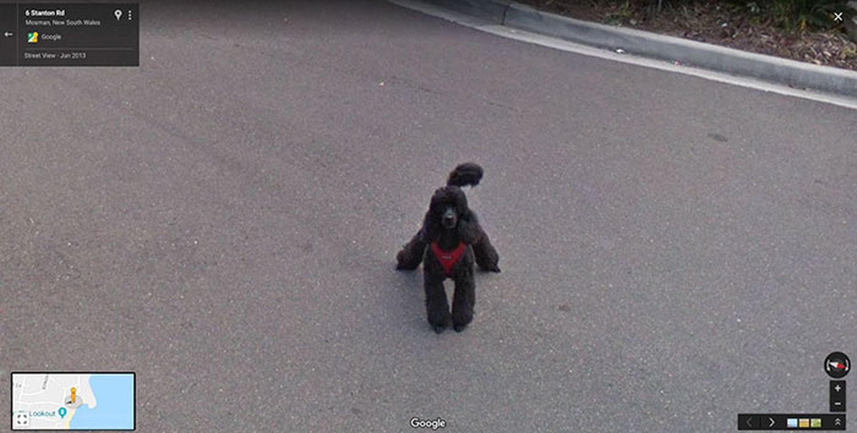 Google-Street-View-animal-amusant-caniche