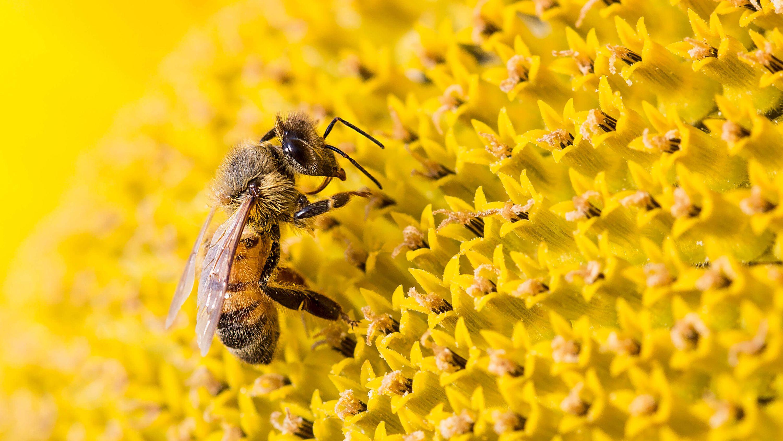 abeille-qui-butine-dans-les-tournesols