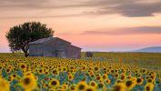 les-tournesols-cultives-en-plaine
