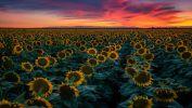 les-tournesols-plante-du-soleil