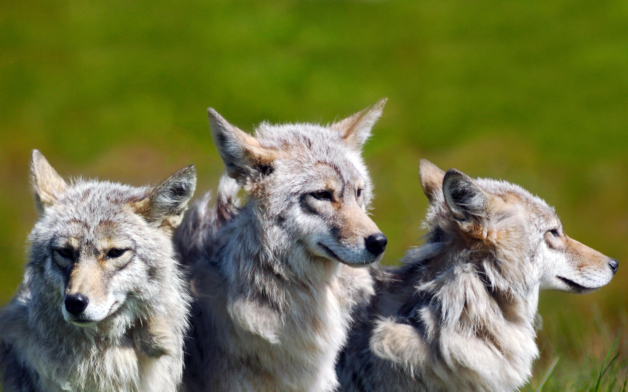 enttre-chiens-et-loups_20