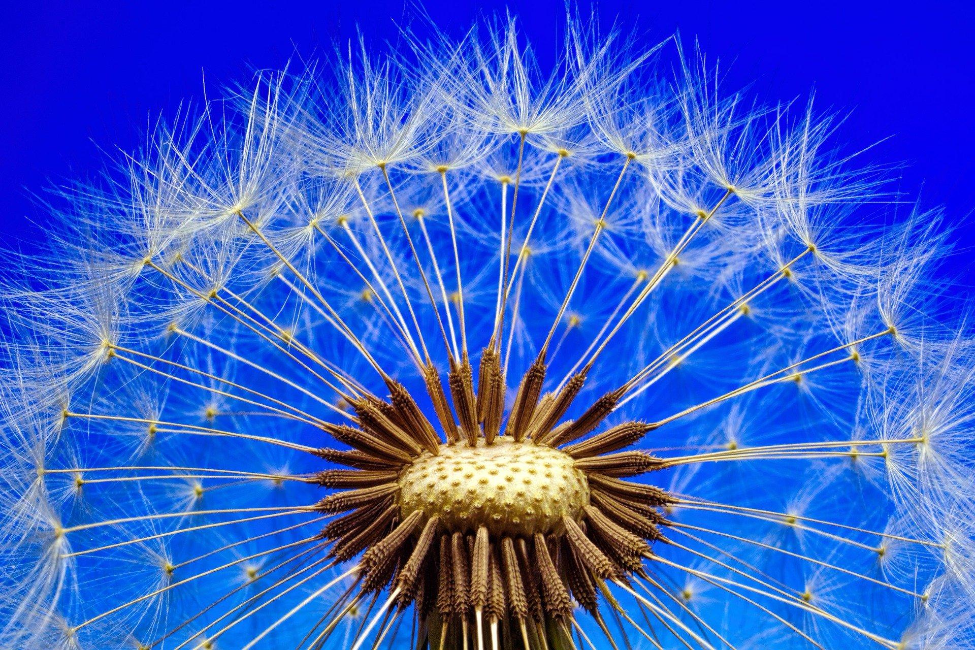 fleur-de-pissenlit-macro-phototographie