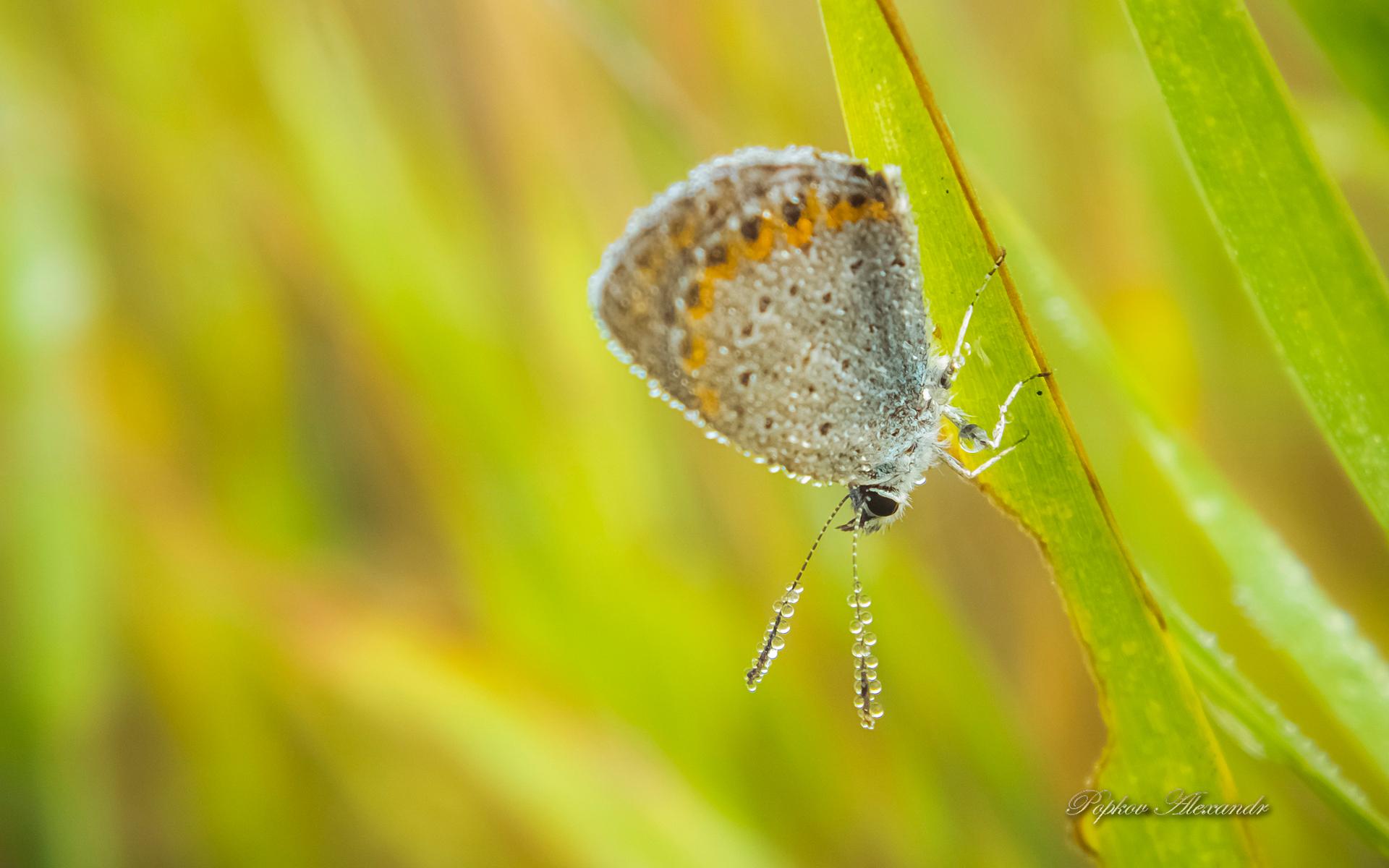papillon-du-matin