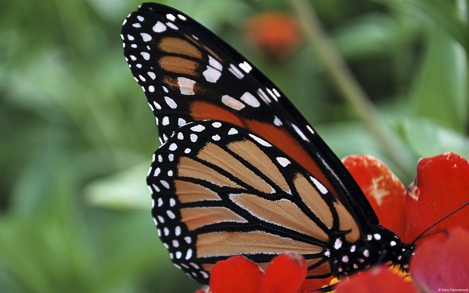 papillon-monarque