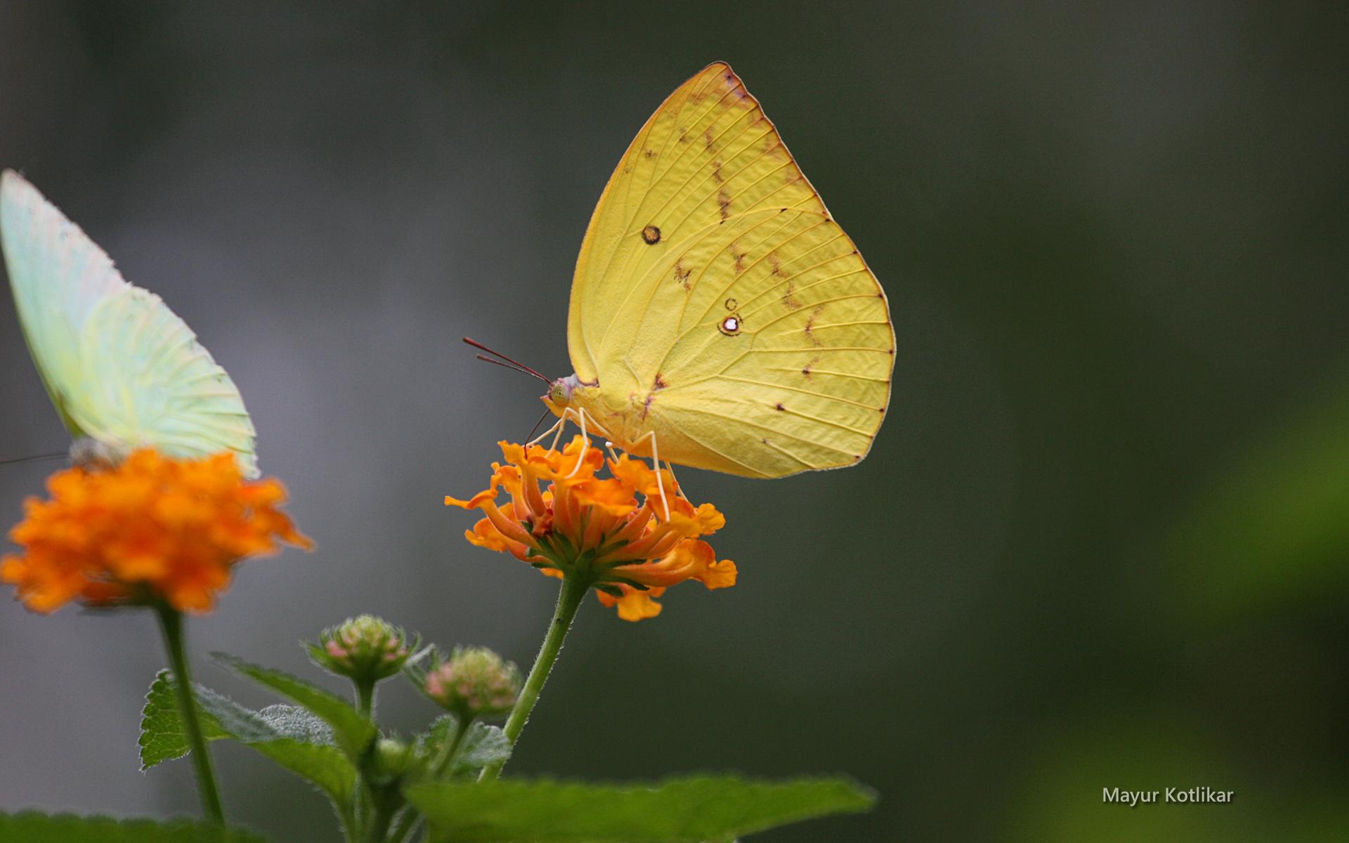 papillon-multicolore