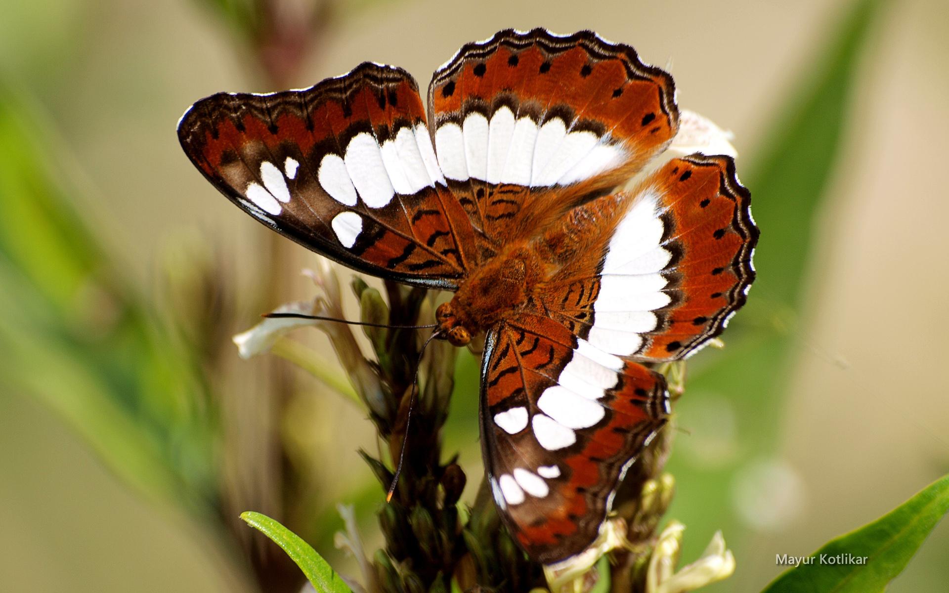 papillon-multicolore_02