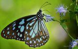 papillon-qui-butine_02