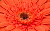 fleur-macrophoto