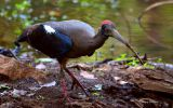 ibis-noir
