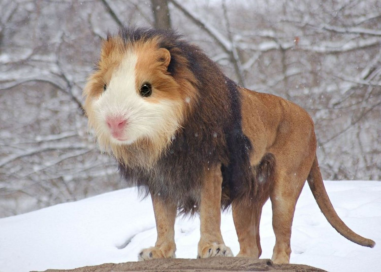 Guinea-Lion