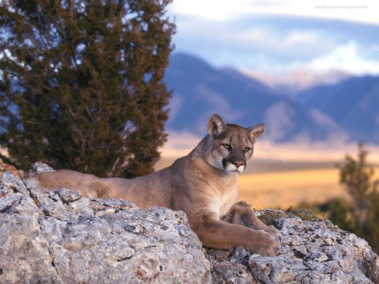 Animaux sauvages wallpapers free fonds d 39 cran gratuits - Photos de lions gratuites ...